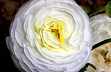 White Ranunculus