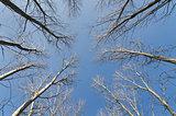 Canony tree