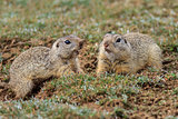 prairie dog (cynomys ludovicianus)