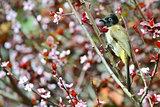 Yellow vented bulbul bird