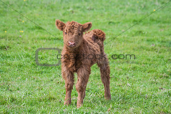 Calf one day old
