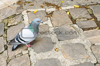 A pigeon in Paris, France