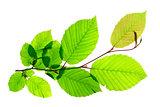 Hornbeam (Carpinus betulus)