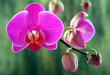 Buds and pink orchid.