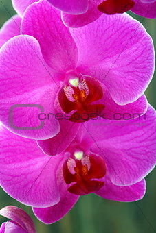 Pink orchid close-up.