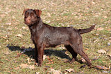 Patterdale Terrier /Wire/  in the park 