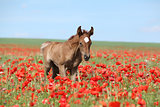 Arabian Foal Running In Red Poppy