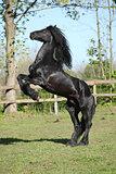 Friesian Stallion Prancing