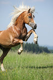 Nice Prancing Haflinger Stallion