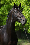 Nice Black Horse With Green Background