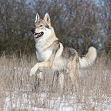 Czechoslovakian Wolfdog