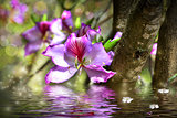 Flower Bauhinia and simulation of water