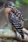 Yellow Tailed Hawk