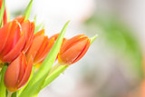Spring Tulip Flowers border design
