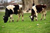 two calves on pasture eating grass
