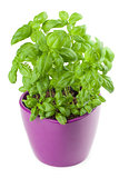 Basil in a flowerpot