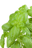 Basil on white