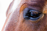 Eye of an horse