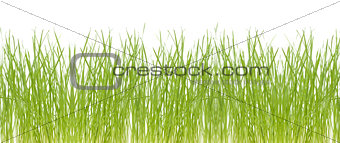 Fresh grass isolated on white background