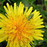 green grasshopper on yellow flower