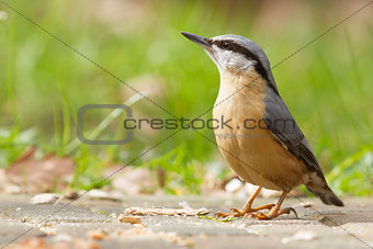 A Nuthatch on the ground