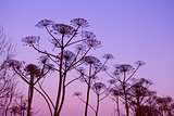 dry hogweed flowers at sunset