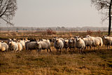 sheep herd in Dwingelderveld