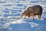 Dutch sheep on snow