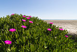 Ice plant