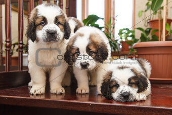 Three puppies 2 months old