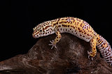 female Bell albino leopard gecko (Eublepharis macularius)
