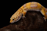 female Tremper albino leopard gecko (Eublepharis macularius)