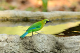 male blue-winged leafbird