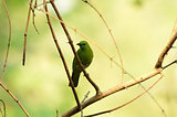 female blue-winged leafbird