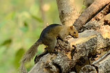 Palla&#39;s Squirrel (Callosciurus erythraeus)