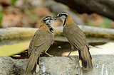 Lesser Necklaced laughingthrush (Garrulax moniliger)