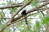 Red-billed Blue Magpie (Urocissa erythrorhyncha)