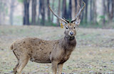 Eld&#39;s Deer (Cervus eldii)