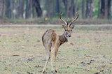 Eld's Deer (Cervus eldii)