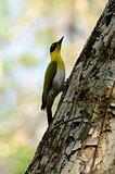 female Black-headed Woodpecker