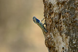 Blue Crested Lizard (Calotes mystaceus)