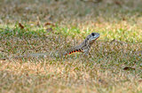 Common Butterfly Lizard (Leiolepis belliana)
