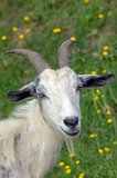 Billy Goat with Horns