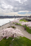 Cherry Blossoms Trees Along Willamette River Waterfront
