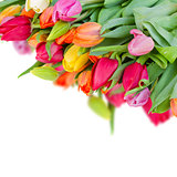 pack of fresh tulips