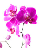 exotic pink blossoms for symbol of luxury
