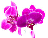 sexy pink orchids to express luxury