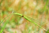 Minimalism - red bug on an ear of wheat