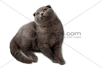 British Shorthair cat  sitting in front of white background