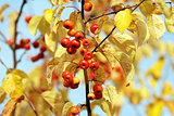 Red crab apples among yellow autumn leaves